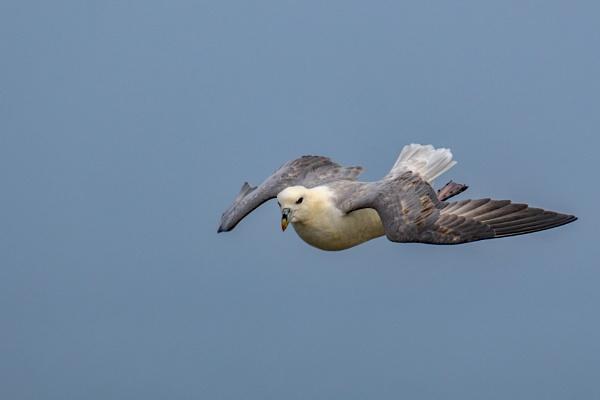 Fulmar in flight. by terra