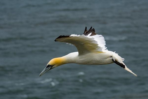 Adult Gannet in flight #2 by terra