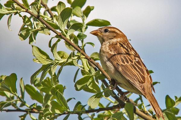 A House Sparrow (female) by johnsd