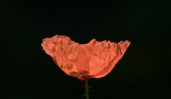Poppy by oldgreyheron