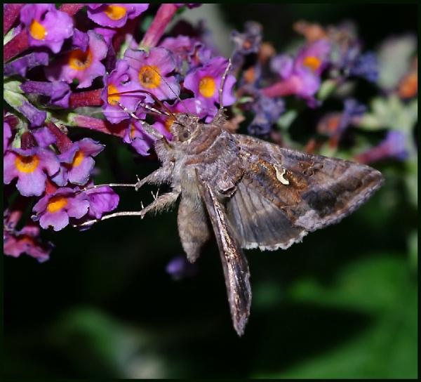 Silver Y Moth # by Badgerfred