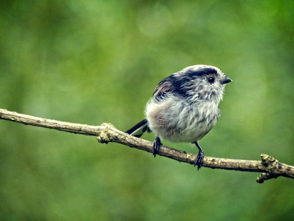 Long Tailed Tit by aliciabeesley