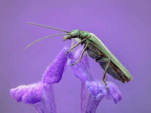 False Blister Beetle on Lavender by Stace
