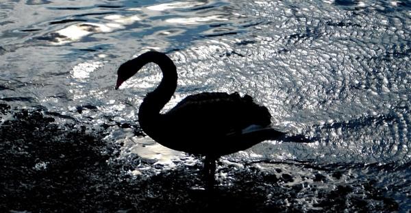 Black Swan Silhouette by SUE118