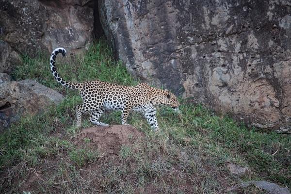 Leopard Prowl by rontear