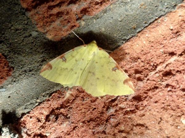 Brimstone moth by TonyDy