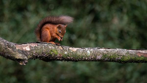 Irish Red Squirrel by markst33