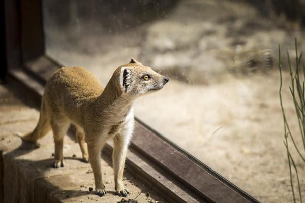 Yellow Mongoose imagine freedom by JackAllTog
