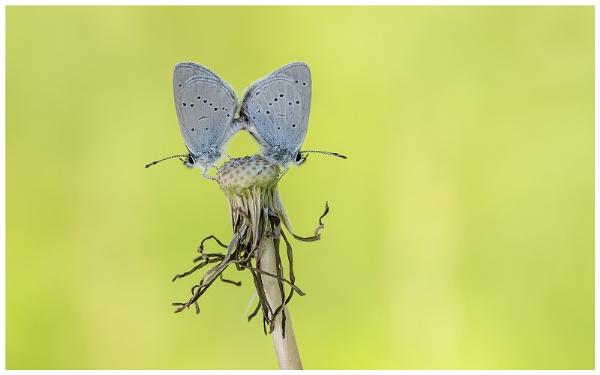 Small Blues - Cupido minimus. by NigelKiteley
