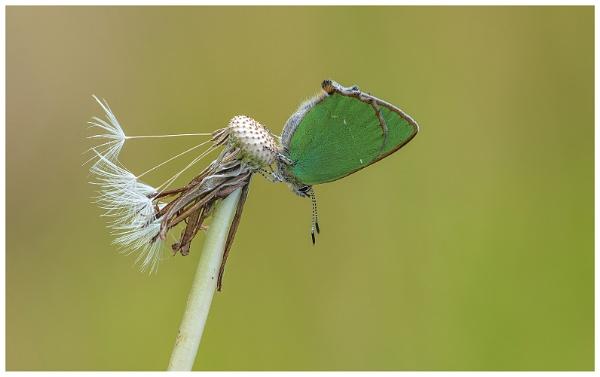 Green Hairstreak. by NigelKiteley