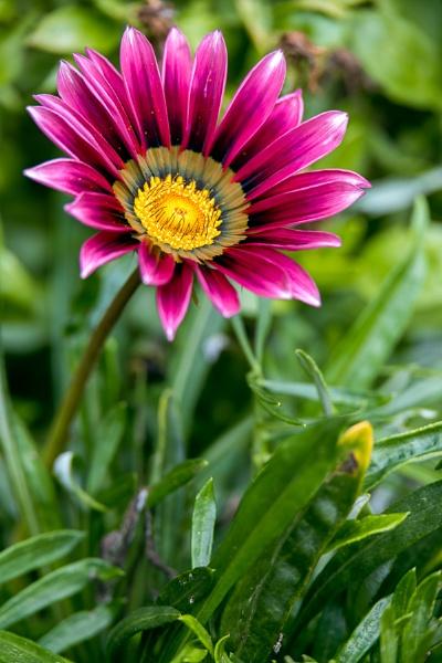 Purple Gazania flowering in an English garden by Phil_Bird