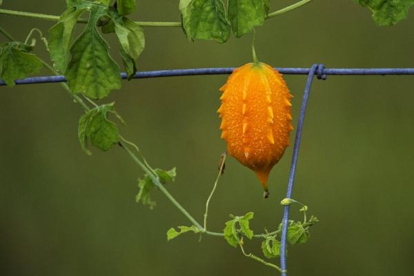 Fruit on a vine by jbsaladino