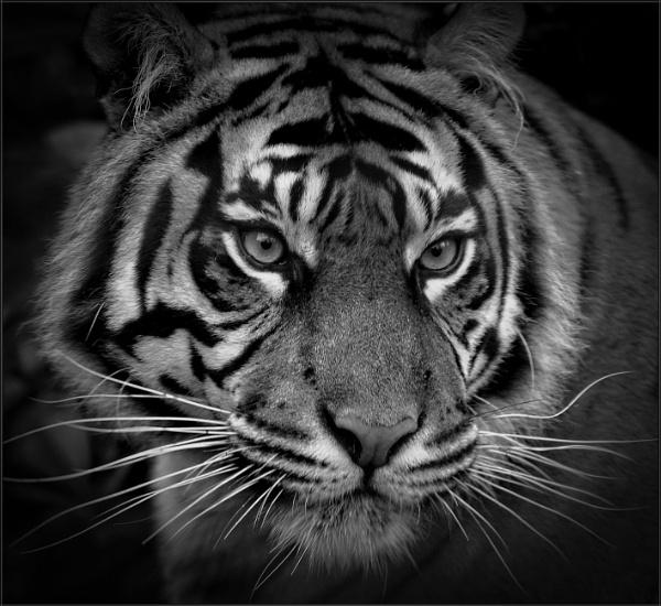 Sumatran Tiger (3) by PhilT2