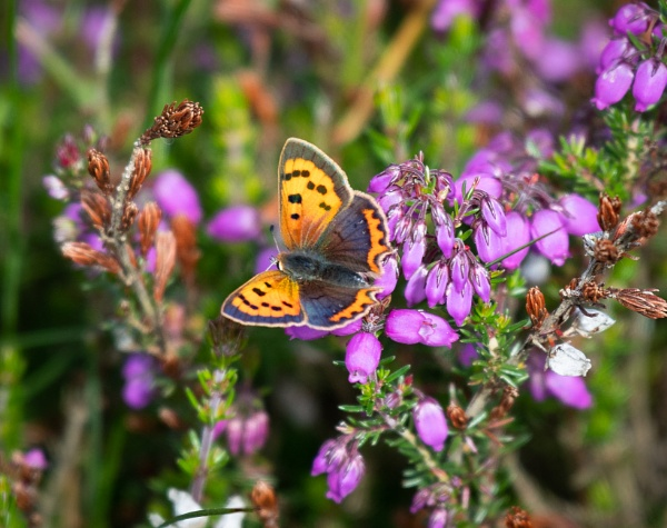 Small Copper by jasonrwl