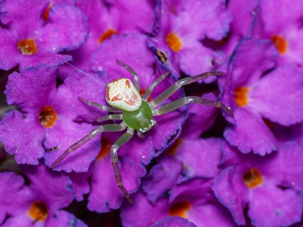 Ebrechtella tricuspidata on buddleia (best viewed large) by chavender
