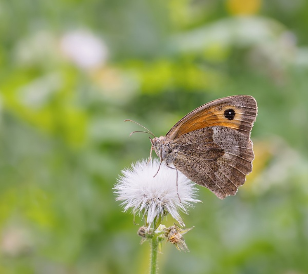 Meadow brown by chavender