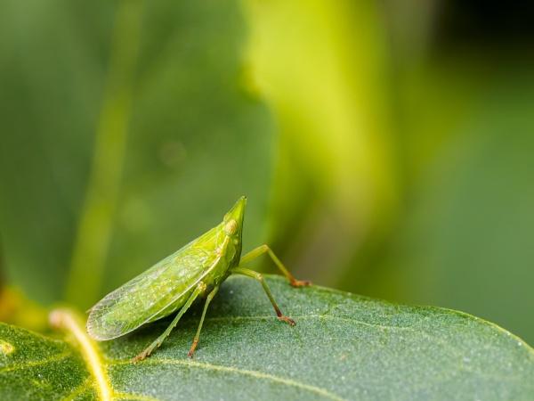 Leaf hopper by chavender