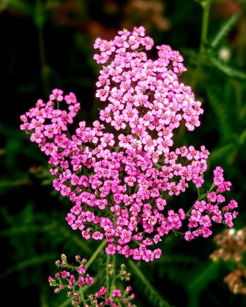 Garden Flowers by FrancisChiles