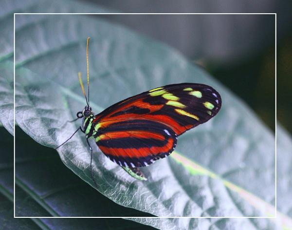 Imenius Longwing (Heliconius imenius)  (best viewed large) by gconant