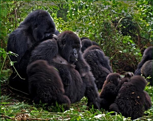 Gorilla family in Rwanda by JuBarney