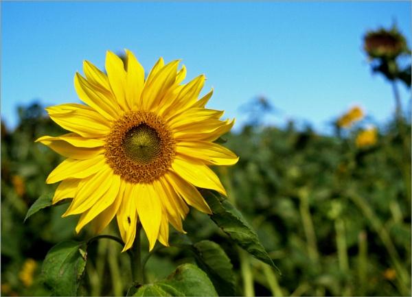 Sunflowers by JuBarney