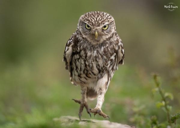 Best Foot Forward (Little Owl) by mufftrix