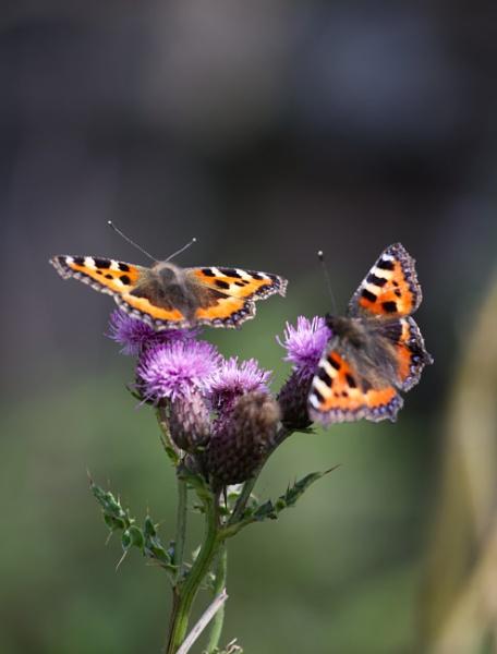 Butterflies. by shishidog