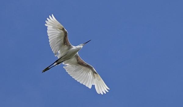 Little Egret by guern