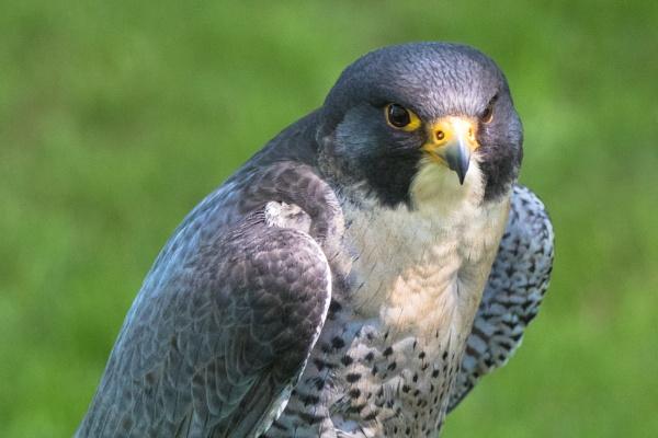 Peregrine falcon by Trekmaster01