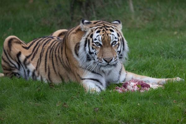 Tiger dinner by Trekmaster01