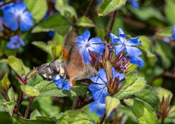 Humming Bird Hawk Moth by Agglestone