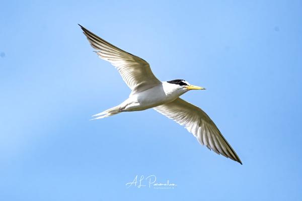 Little Tern by Pari56