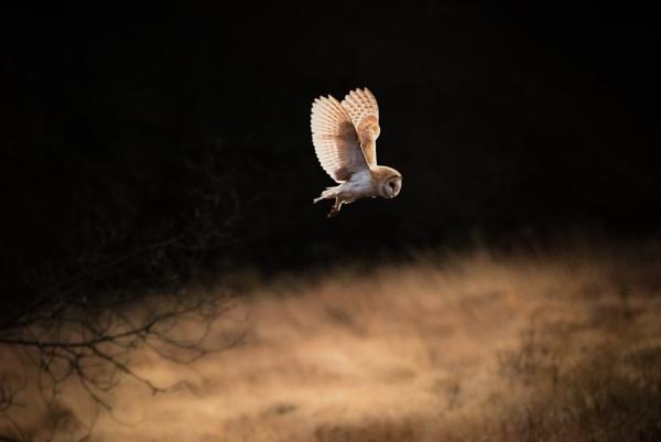 Barn Owl by gerainte1