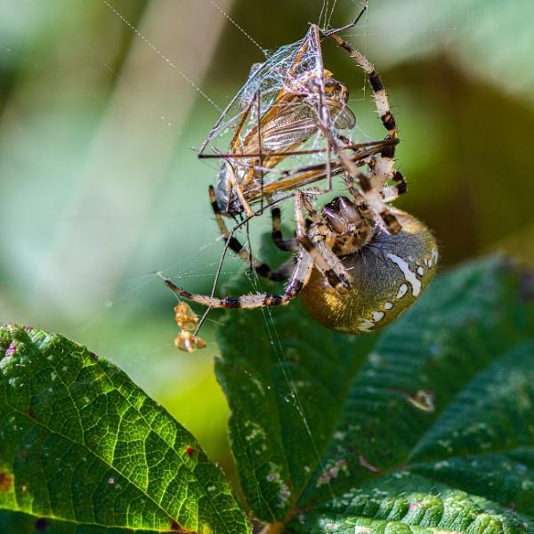 An Orbweaver spider dealing her dinner. by davereet