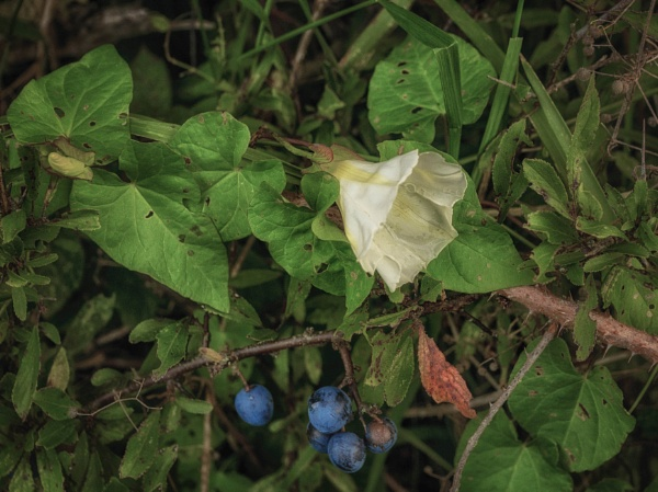 Hedge bindweed by BillRookery
