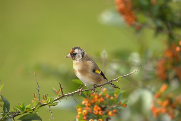 Juvenile Goldfinch by canoncarol