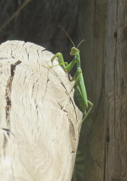 Praying Mantis by BlueJonnyp