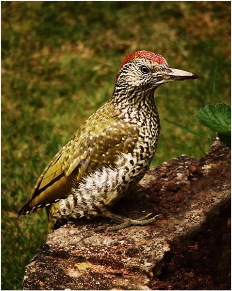 Green Woodpecker by dven