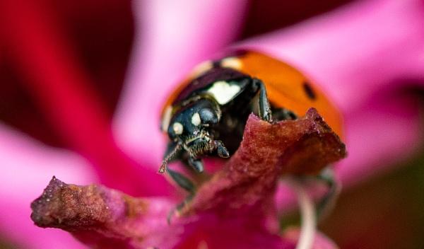Ladybird in pink by lagomorphhunter