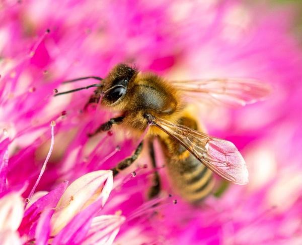 Honeybee on a pink flower by lagomorphhunter