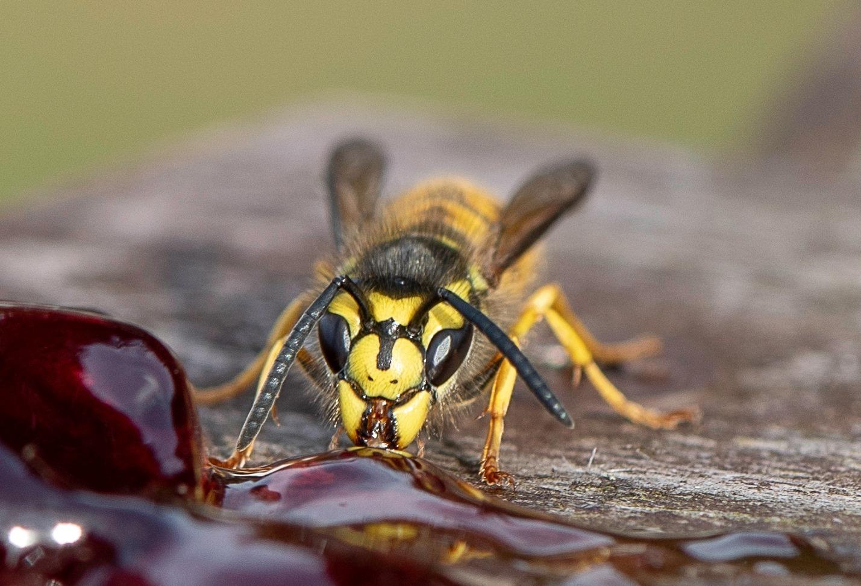 Wasp enjoying the jam