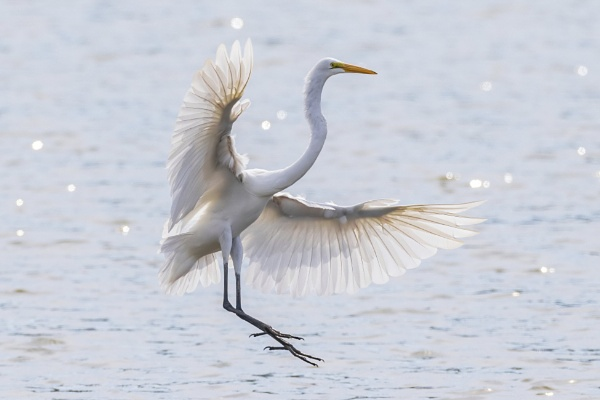 Great Egret by TDP43