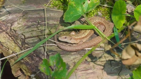 Common lizard river Stort Essex by GwB
