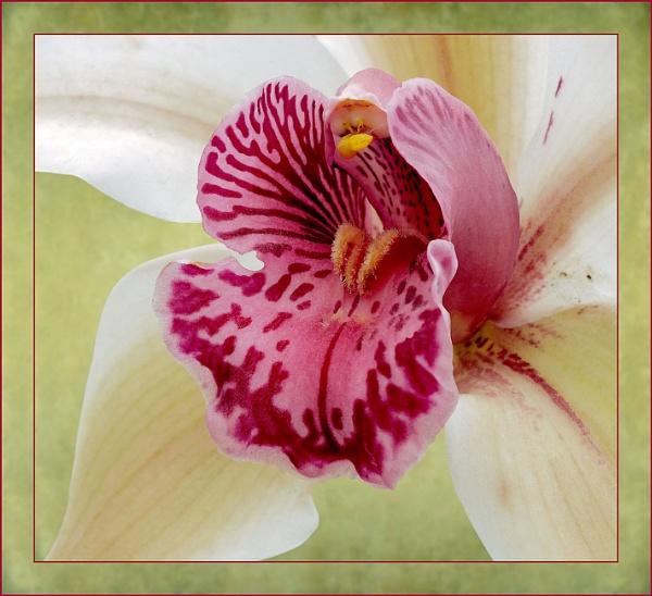 Wisley Orchid by pamelajean