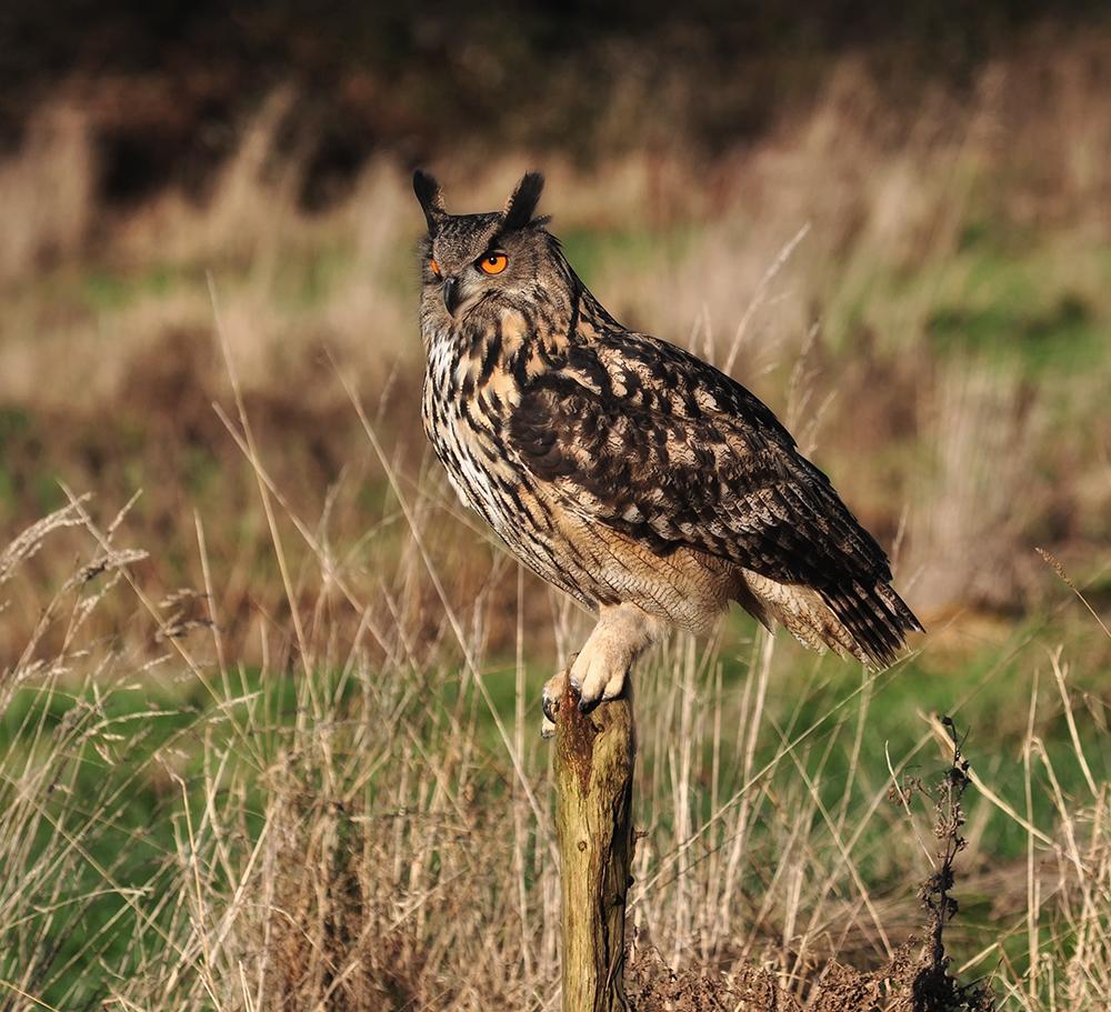 Eagle Owl Perched.
