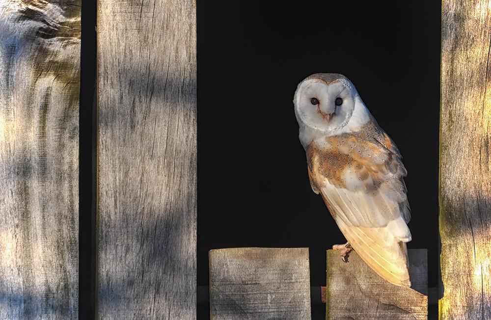 Barn Owl in the Evening Light