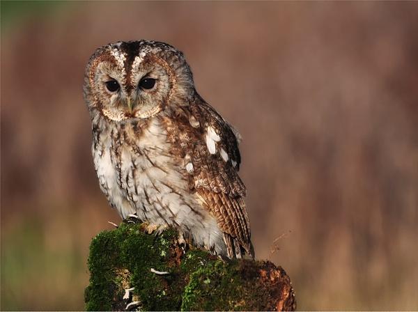 Tawny Owl Perched. by Buffalo_Tom