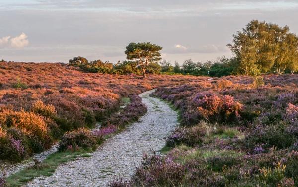 Westleton Heath by CarolF