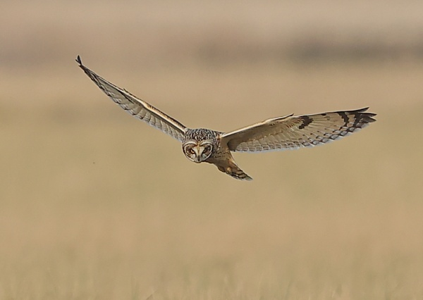 Short eared Owls Hunting by NeilSchofield
