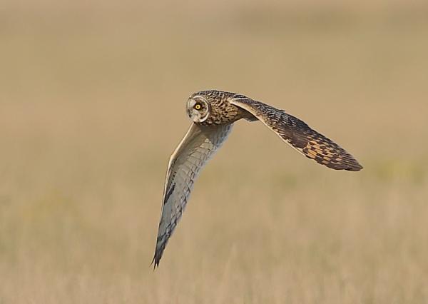 Short Eared Owls in Flight by NeilSchofield